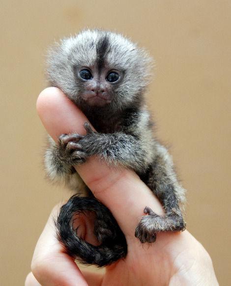 La scimmia nana grande quanto un dito l 39 hai mai vista for Scimmie piccole domestiche