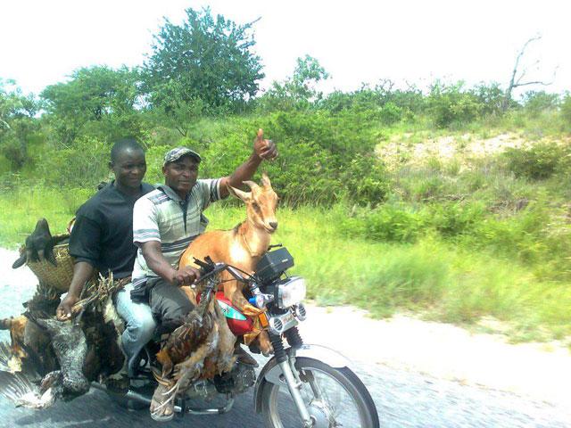 capra e galline  trasportate in moto