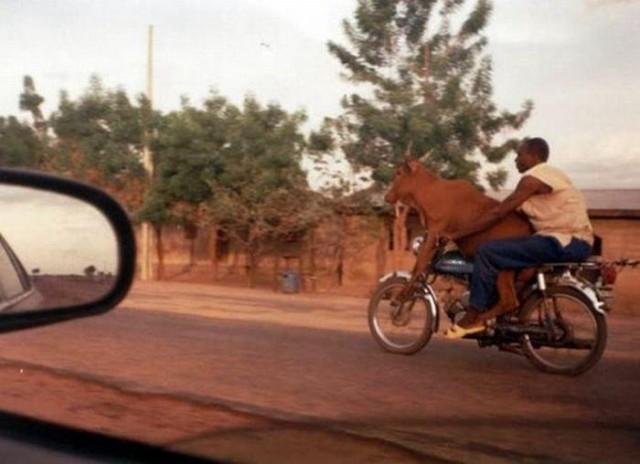 mucca guida la moto