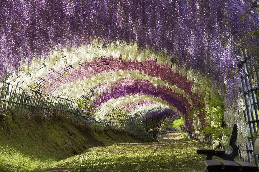 Wisteria Flower Tunnel, Giappone