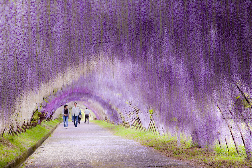 Wisteria Flower Tunnel in Giappone