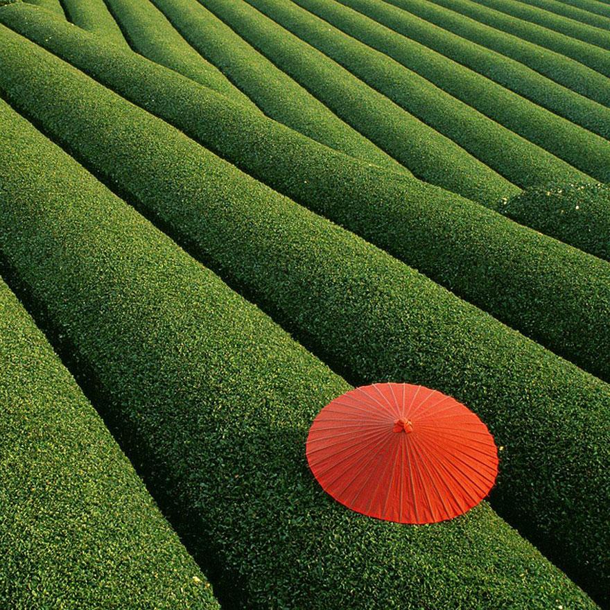 Campi di tè, Cina