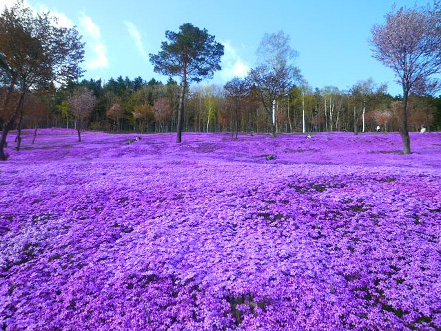 Shibazakura Flowers, Takinoue Park, Giappone