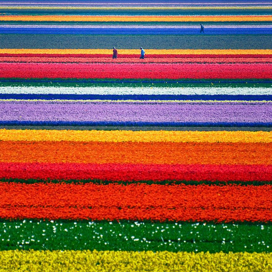 Campi di tulipani, Paesi Bassi
