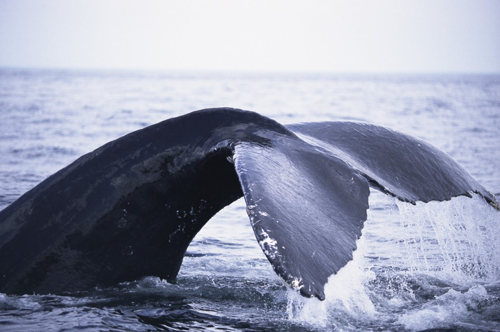 whale-watching-a-trincomalee-sri-lanka