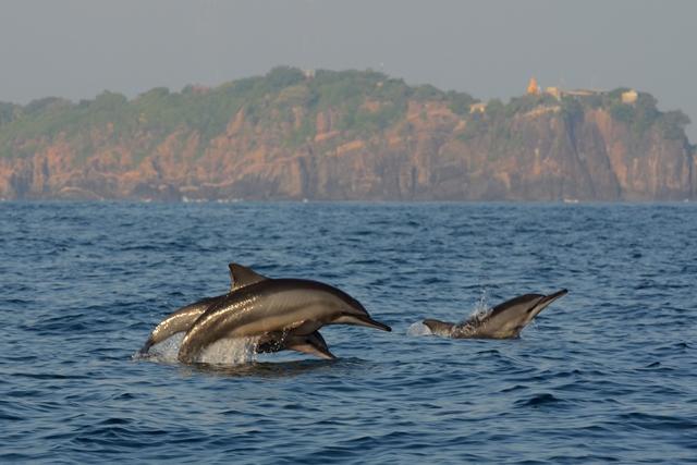 Delfini a Trincomalee