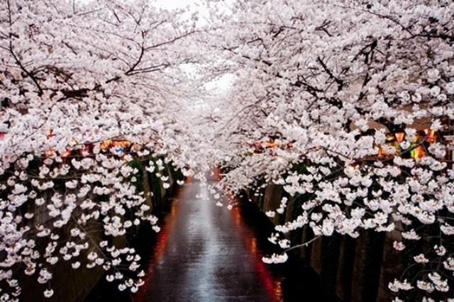 Fioritura dei ciliegi in Giappone - Reporter Live (19)