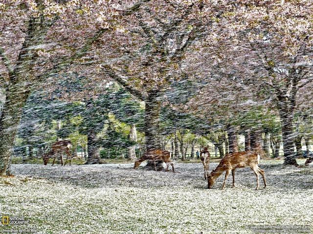 Fioritura dei ciliegi in Giappone - Reporter Live (20)