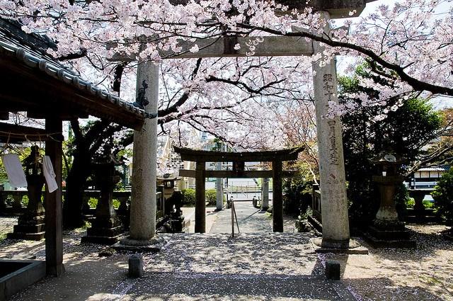 Fioritura dei ciliegi in Giappone - Reporter Live (21)