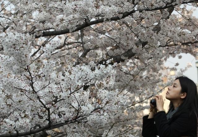 Fioritura dei ciliegi in Giappone - Reporter Live (25)