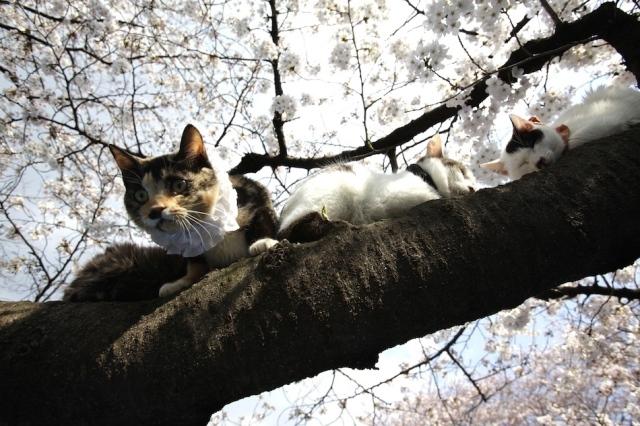 Fioritura dei ciliegi in Giappone - Reporter Live (26)