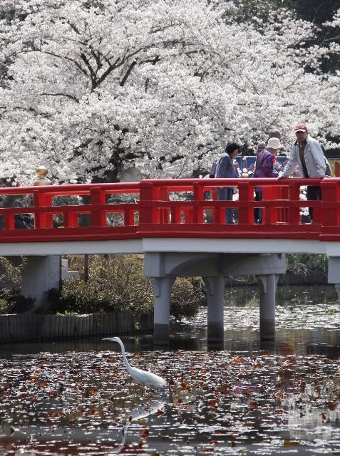 Fioritura dei ciliegi in Giappone - Reporter Live (28)