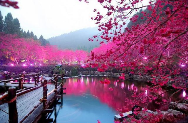 Fioritura dei ciliegi in Giappone - Reporter Live (3)