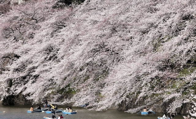 Fioritura dei ciliegi in Giappone - Reporter Live (31)