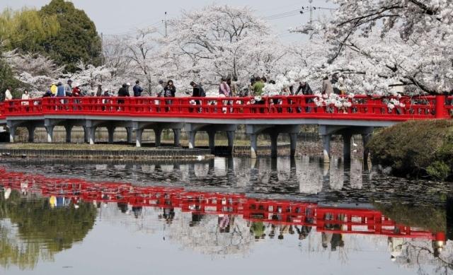 Fioritura dei ciliegi in Giappone - Reporter Live (32)
