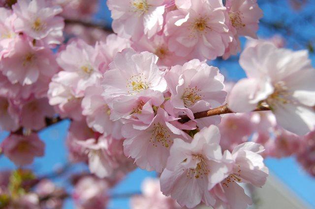 Fioritura dei ciliegi in Giappone - Reporter Live (36)