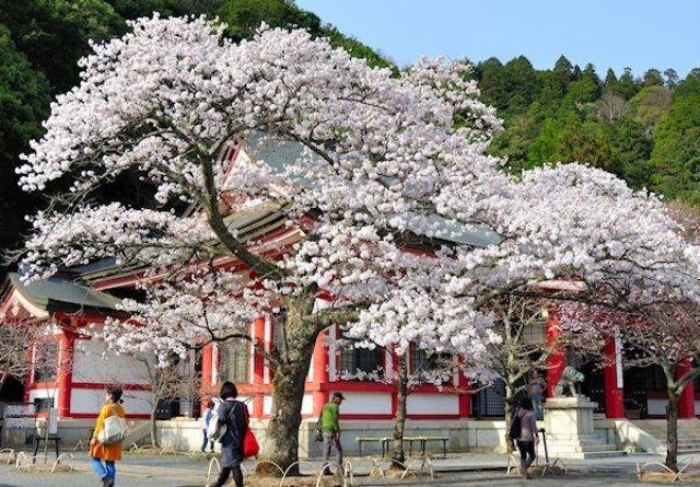 Fioritura dei ciliegi in Giappone - Reporter Live (37)