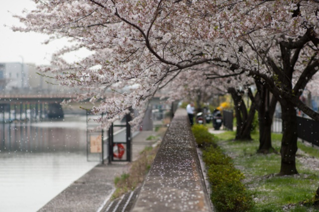 Fioritura dei ciliegi in Giappone - Reporter Live (5)