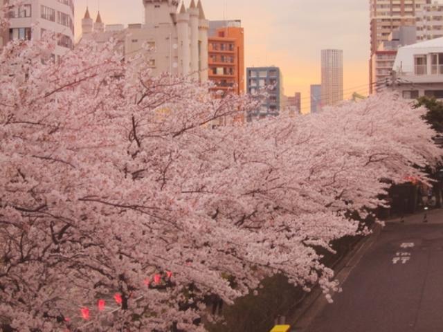 Fioritura dei ciliegi in Giappone - Reporter Live (7)