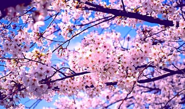 Fioritura dei ciliegi in Giappone - Reporter Live (8)